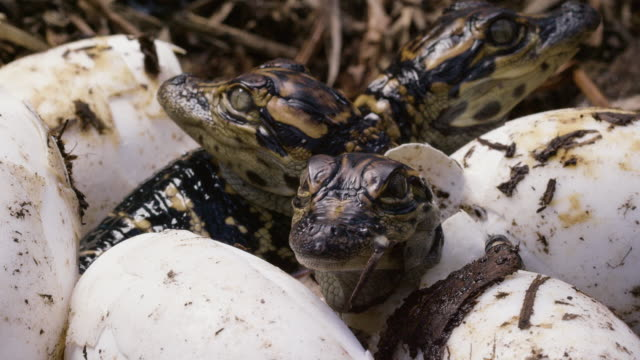 compilation of american alligator babies hatching from the eggs - alligator stock videos & royalty-free footage