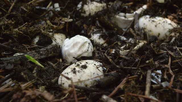 compilation of an american alligator baby hatching from the egg - american alligator stock videos & royalty-free footage