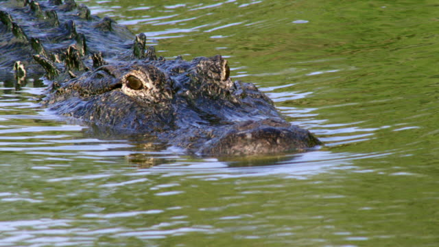 compilation of an american alligator swimming in the mississippi river - louisiana stock videos & royalty-free footage