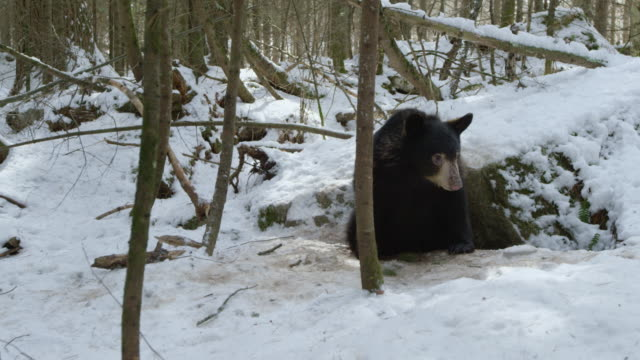 compilation of an american black bear emerging from the den - evergreen stock videos & royalty-free footage