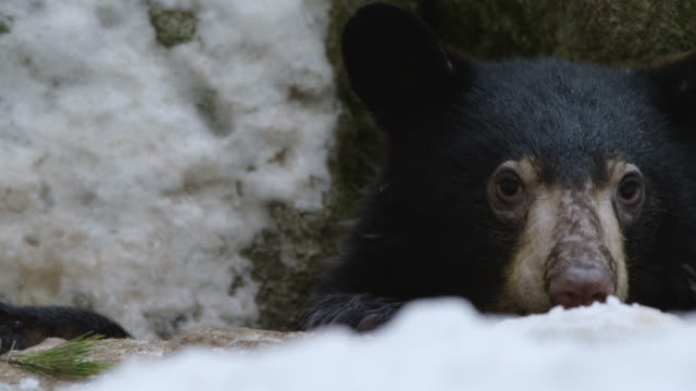 compilation of an american black bear looking out of the den - evergreen stock videos & royalty-free footage
