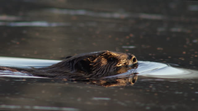 compilation of beavers diving into the mississippi river - beaver stock videos & royalty-free footage