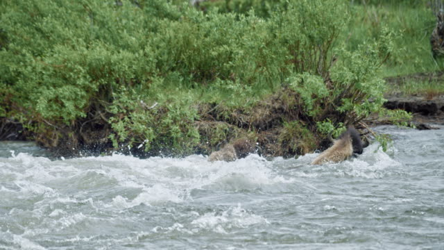 compilation of bisons being swept away by the river - wyoming stock videos & royalty-free footage