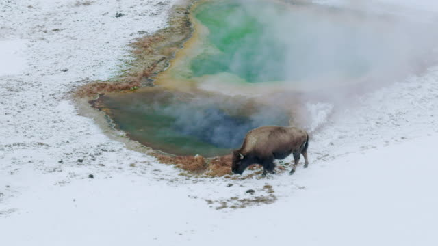 compilation of bisons grazing near a geothermal area - wyoming stock videos & royalty-free footage