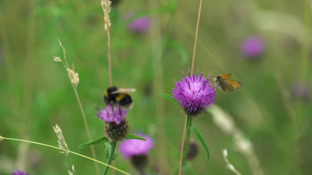 compilation of butterflies, bees, bumblebees and moths feeding on thistle flowers - woodland stock videos & royalty-free footage