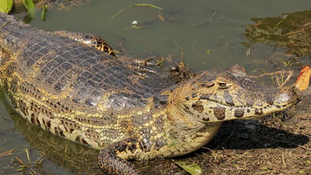 compilation of caimans basking along the edge of the rebel lake and an orange butterfly landing on the head of a caiman - reptile stock videos & royalty-free footage