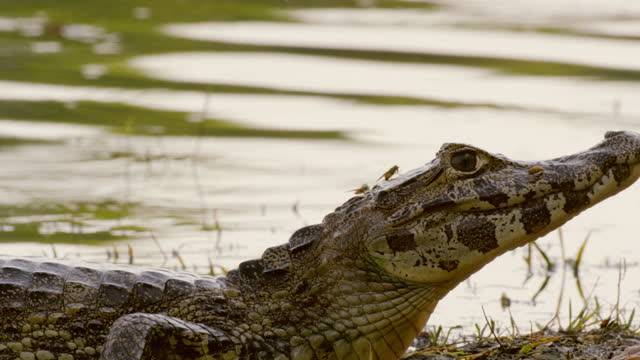 compilation of caimans basking on the edge of the rebel lake and being bothered by horseflies - reptile stock videos & royalty-free footage