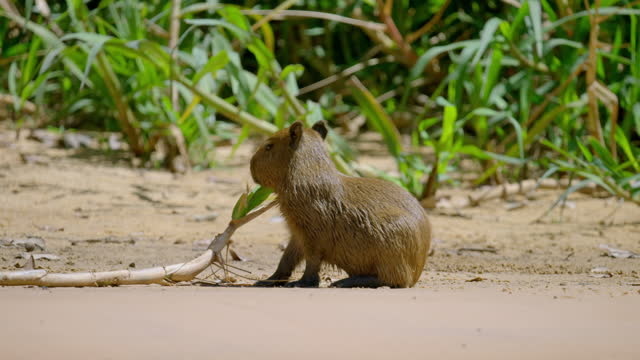 compilation of capybara pups playing on the riverbank - rodent stock videos & royalty-free footage