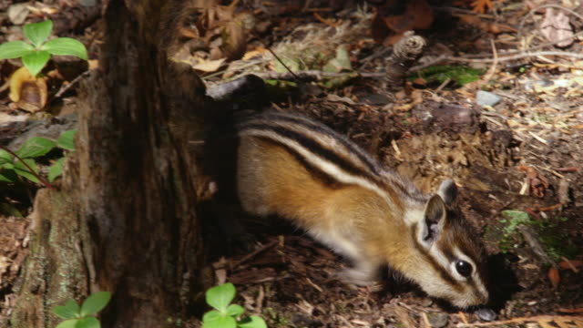 compilation of chipmunks in the cedar forest - chipmunk stock videos & royalty-free footage