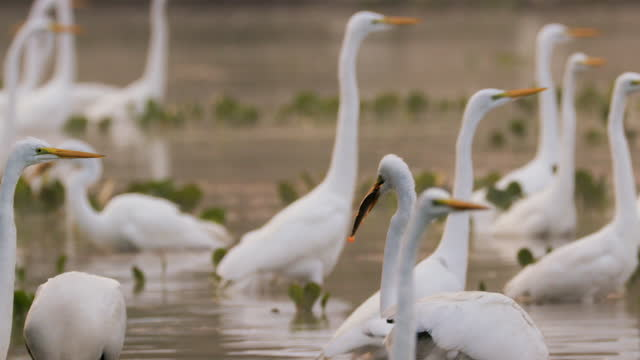 compilation of great egrets wading in the rebel lake and a great egret with a fish in its beak - egret stock videos & royalty-free footage