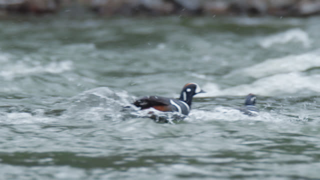 compilation of harlequin ducks jumping into the river and floating - river yellowstone stock videos & royalty-free footage