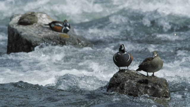 compilation of harlequin ducks standing on a rock and diving in the river - river yellowstone stock videos & royalty-free footage