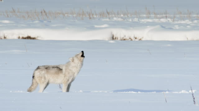 stockvideo's en b-roll-footage met compilation of howling wolves - yellowstone national park