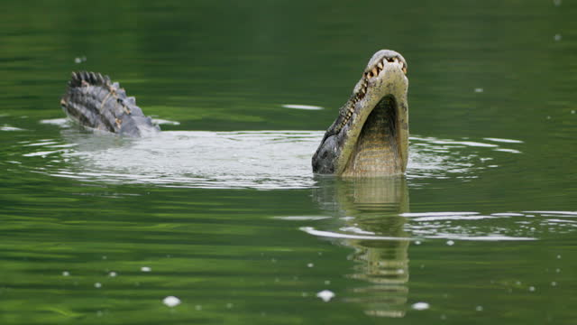 compilation of male caimans bellowing in the lake - reptile stock videos & royalty-free footage