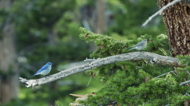 compilation of mountain bluebird perching on a branch - pine stock videos & royalty-free footage
