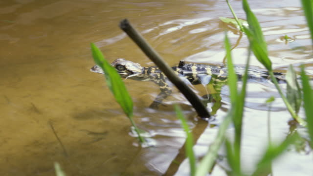 compilation of newborn american alligator babies first swim in the water - american alligator stock videos & royalty-free footage