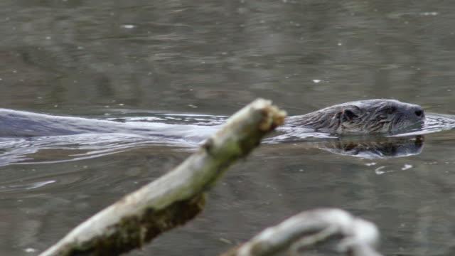 vídeos y material grabado en eventos de stock de compilation of otters on a tree branch over the water and swimming and diving - nutria de río
