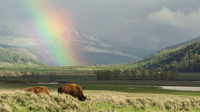 compilation of raindrops falling to the water surface and lightning strikes over the lower fall and bisons grazing under the rainbow - wide shot stock videos & royalty-free footage