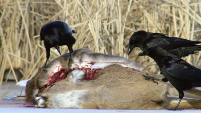 compilation of ravens eating from the carcass of a white-tailed deer on the frozen mississippi river - white tailed deer stock videos & royalty-free footage
