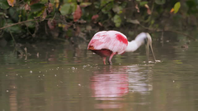 compilation of roseate spoonbills searching for food in the shallow water - walking in water stock videos & royalty-free footage