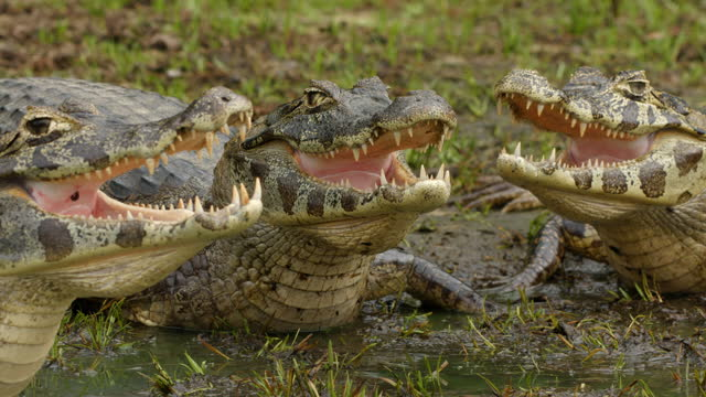 compilation of the reflection of caimans in the water and caimans poising with open mouth on the lakeside - reptile stock videos & royalty-free footage