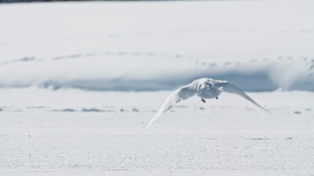stockvideo's en b-roll-footage met compilation of the trumpeter swans flying away and landing on an open section of the frozen river - jonge zwaan