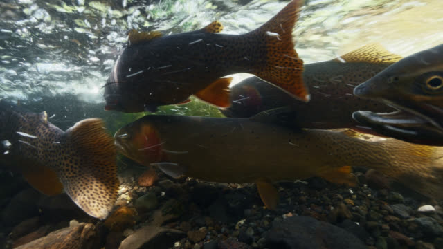 compilation of trouts swimming underwater - freshwater stock videos & royalty-free footage