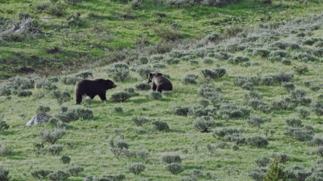 compilation of two grizzlies walking and mating in a sagebrush meadow - tracking shot stock videos & royalty-free footage