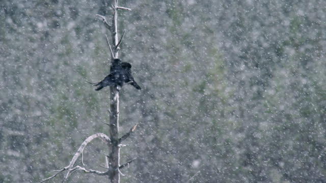 compilation of two ravens perching in the tree and flying in the snowfall - snowing stock videos & royalty-free footage
