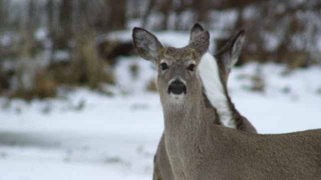 compilation of white-tailed deers on the frozen mississippi river - white tailed deer stock videos & royalty-free footage