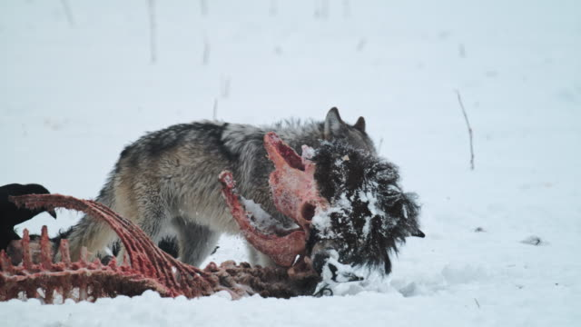 compilation of wolves chasing ravens from a bison carcass and feeding on it - scavenging stock videos & royalty-free footage