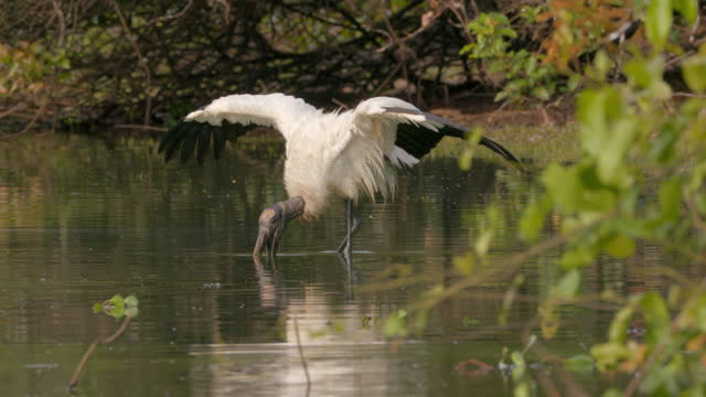 compilation of wood storks searching for food in shallow water - futter suchen stock-videos und b-roll-filmmaterial