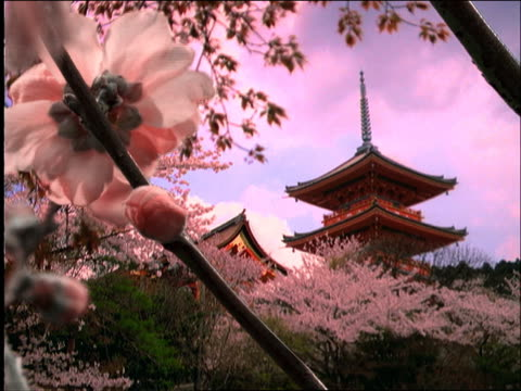 composite close up time lapse white cherry blossoms blooming on tree branch with pagoda in background / japan - pagoda点の映像素材/bロール