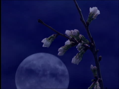 vídeos de stock, filmes e b-roll de composite close up time lapse white flowers blooming on branch with moonrise in background - filme colagem