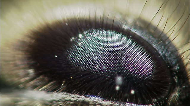 compound eye of honey bee (apis mellifera), england - animal eye stock videos & royalty-free footage