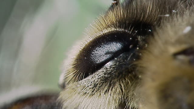 vídeos de stock, filmes e b-roll de compound eye of honey bee (apis mellifera), england - olho de animal