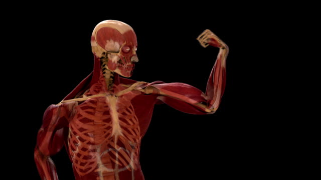 a computer animation depicts the musculoskeletal system of a man as he flexes his bicep. - bicep stock videos & royalty-free footage