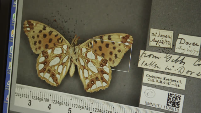computer screen showing fritillary butterfly specimen, natural history museum, london, england - stuffed stock videos & royalty-free footage