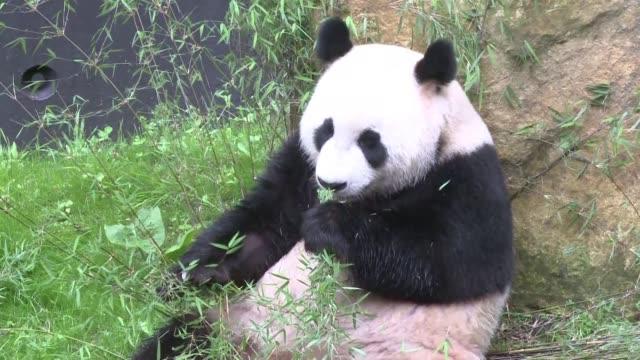 con cautela al principio, pero despues con curiosidad dos pandas gigantes caminaron en su nuevo encierro al aire libre en un zoologico holandes el... - multitud stock videos & royalty-free footage