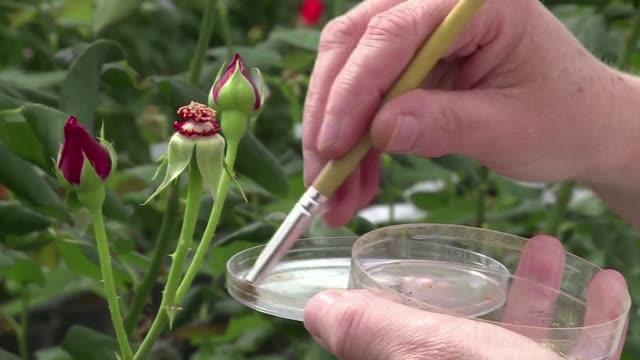 stockvideo's en b-roll-footage met con su obsesion por buscar la rosa perfecta los creadores de rosas se han olvidado del aroma un criterio que los paises productores de africa y... - agricultura