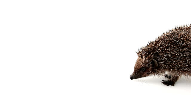 stockvideo's en b-roll-footage met concentrated hedgehog sniffs - nieuwsgierigheid