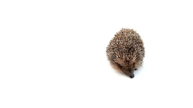concentrated hedgehog sniffs - hedgehog stock videos & royalty-free footage