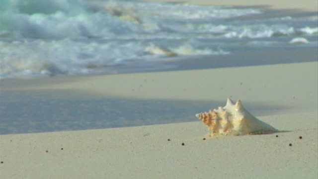 conch shell on the beach - seashell stock videos & royalty-free footage