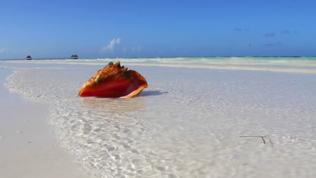 conch shell on tropical beach - seashell stock videos and b-roll footage