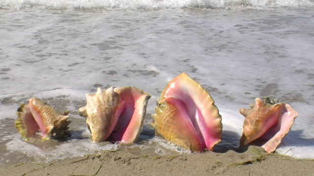 vídeos de stock, filmes e b-roll de conch shells - concha parte do corpo animal