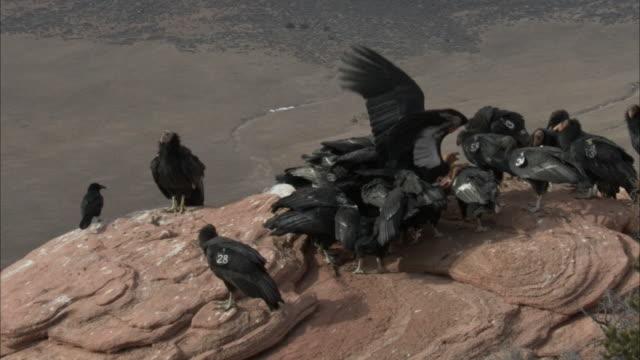 condor glides by flock feeding - california condor stock videos and b-roll footage