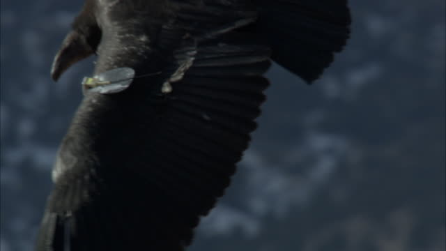 condor lands on cliff with dead animal - spread wings stock videos & royalty-free footage