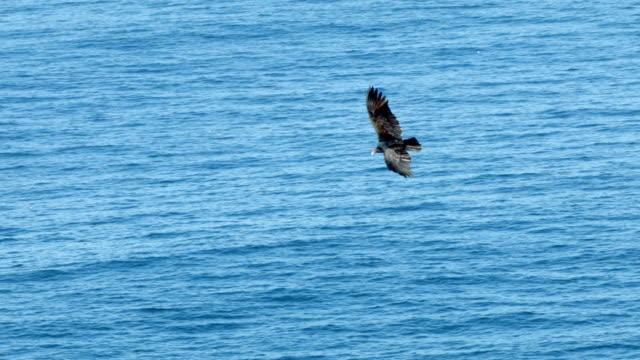 condor - california condor stock videos and b-roll footage