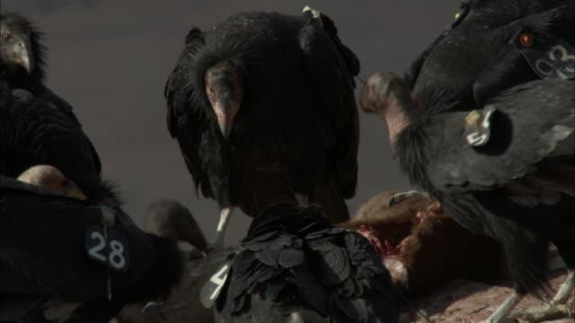 condors feeding on chunks of dead animal - california condor stock videos and b-roll footage