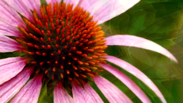 cone flower - tennessee stock-videos und b-roll-filmmaterial